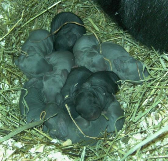 6 bébés géants des Flandres bleus et 3 noirs